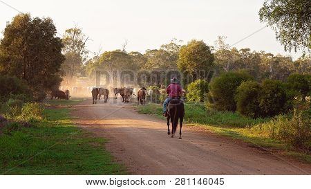 A Stock Man Riding A Horse Mustering And Droving Cattle Along A Dusty Dirt Road