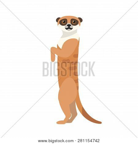 African Meerkat Isolated On White Background. Portrait Of Cute Wild Watchful Predatory Animal. Gorge