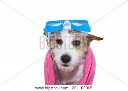 Swimming Dog On Summer. Jack Russell Puppy With Goggles And A Pink Towel. Isolated Shot Against Whit