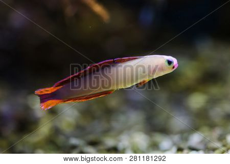 Elegant firefish (Nemateleotris decora), also known as the purple firefish.