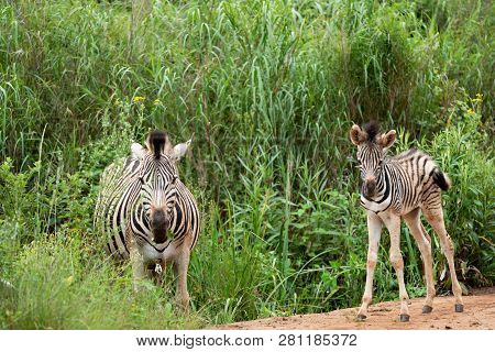 A zebra foal approximately a week old, under the protection of it's mother, in the Umgeni Valley Nature Reserve, Kwa-zulu Natal, South Africa. poster