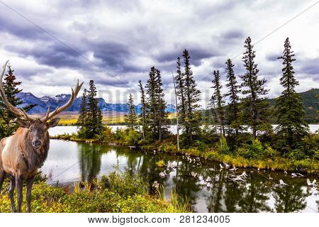 Gorgeous deer with big horns grazing on the lake. The valley along the Pocahontas road. Rocky Mountains of Canada. Concept of ecological, active and photo-tourism