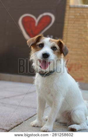 San Valentine Love Dog. Jack Russell With A Red Grafitti Heart Shape Like Background.