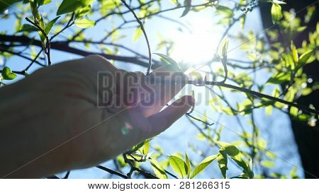 Female Hand Touches A Branch With Its Blossoming Buds, Gently Touches A Tree, Showing Love For Natur