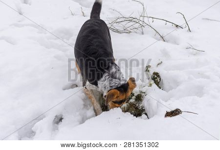 Black Dog Digging Mouse Hole While Rodent Hunting At Winter Season