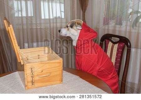 Sad Dog Wearing New Garment Sitting On A Chair And Dream About Box Full Of Toys