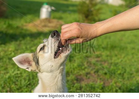Master Feeding Young Dog While Training Simple Commands Outdoors