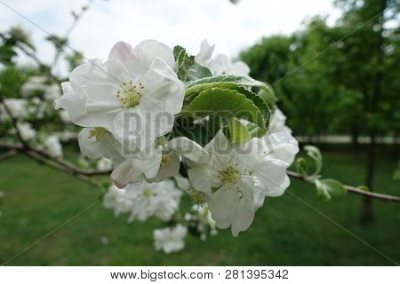 Florescence Of Apple Tree In Late April