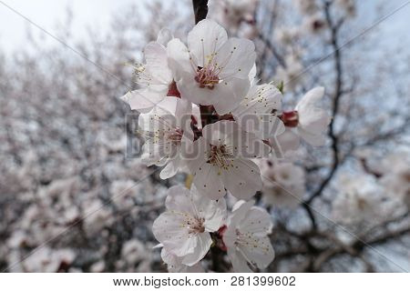 Florescence Of Apricot Tree In Early Spring