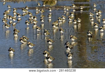 Northern Lapwing - Vanellus Vanellus  Roost On Water In Late Sun