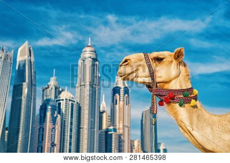 Dubai Camel On Skyscrapers Background At The Beach . Uae Dubai Marina Jbr Beach Style: Camels And Sk