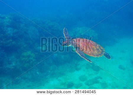 Sea Turtle Swimming Undersea. Exotic Marine Turtle Underwater Photo. Oceanic Animal In Wild Nature.