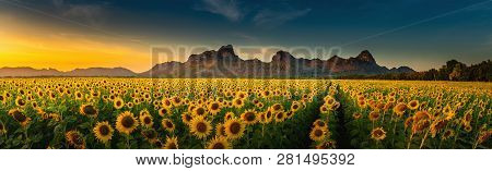 Panorama Landscape Of Sunflowers Blooming In The Field., Beautiful Scene Of Agriculture Farming On M