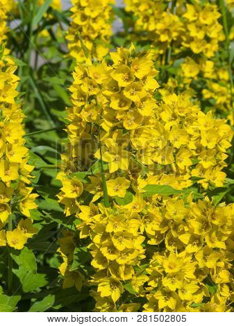 Lysimachia Images, Illustrations & Vectors (Free) - Bigstock