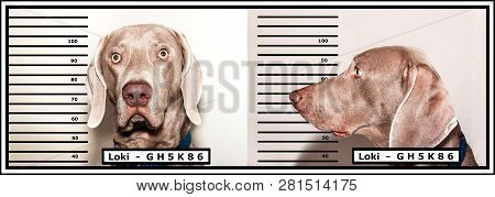 Police photo of the criminal. Dog thief. Weimaraner caught by the police. Funny photo. poster