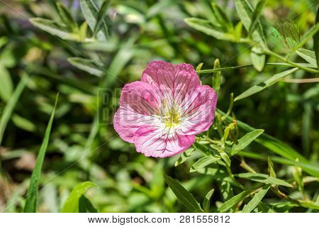 Field Of Cosmos Pink Flower . Close Up