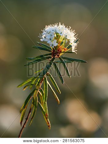 Closeup Of Marsh Labrador Tea, Rhododendron Tomentosum Plant In The Autumn Sunlight. Selective Focus