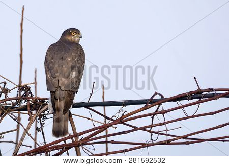 Female Eurasian Sparrowhawk Sits In Top Vine Branches As She Controls Environment Around Herself