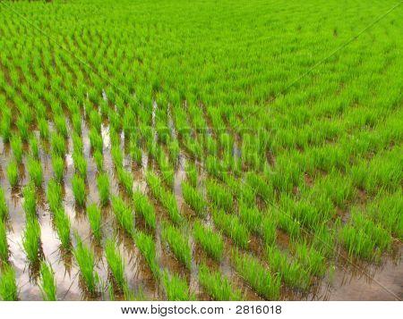 Rice Seedling Field