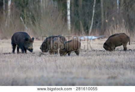 Group Of Wild Boars In Search Of Food On Open Space Field In Early Spring