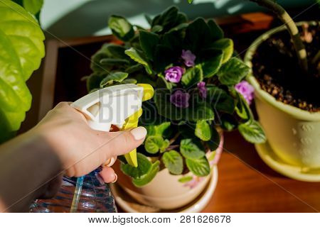 Woman Caring For House Plant. Woman Taking Care Of Plants At Her Home, Spraying A Plant With Pure Wa