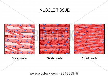 Muscle Tissue. Skeletal Muscle, Smooth (in A Gastrointestinal Tract) And Cardiac Muscle (in A Heart)