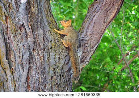 Fox Squirrel (sciurus Niger) Along The Jordan River Trail In Salt Lake City, Utah, Also Known As The