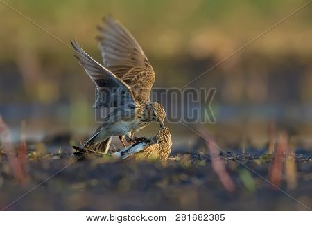 Two males of Eurasian skylark in ferocious battle against each other on the soil poster