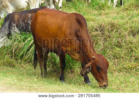 Close-up Ox Grazing On Green Field In Farm Area. Agricultural Production Of Bovine Animals