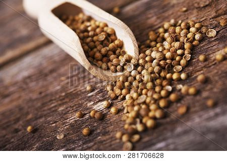 Dried Coriander Fruits Called Also Coriander Seeds When Used As A Spice. Coriander In The Small Wood