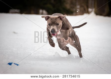 Staffordshire Bull Dog Terrier Running For Dog Puller In Snow.