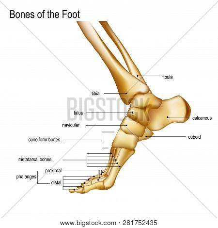 Foot With Ankle. Realistic Skeleton Of Human Leg With Titles Of Bones Anatomy Of Joints, Medial Aspe