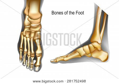 Bones The Of Foot Top And Medial View. Realistic Skeleton Of Human Leg With Ankle. Anatomy Of Joints