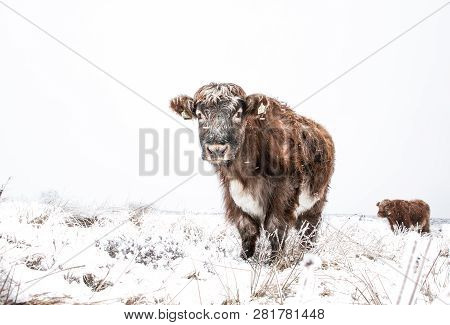 Hardy Highland Cattle And Cows In A Remote Field During Winter When The Ground Is Covered In Snow Wi