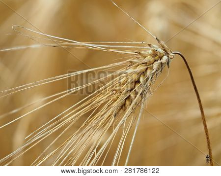 Ear Closeup On The Golden Evening Light At The Fields Of Gold. Heathy Food In A Form Of Full Grain.