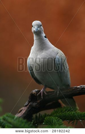 collared pigeon(Streptopelia decaocto) poster