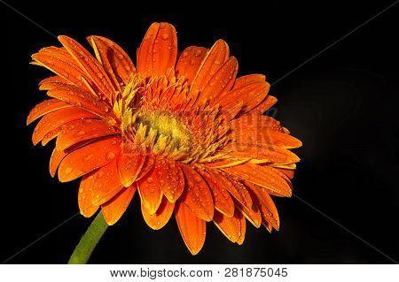 Transvaal Daisy (asteraceae). Beautiful Orange Dewy Flower