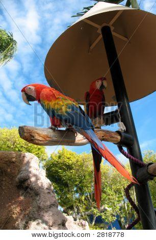 Amazom Parrots
