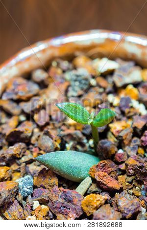 Bud Leaf Of Small Succulent Plant Growing On The Laterite Gravel