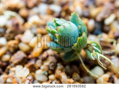 Small Buds Of Kalanchoe Fall And Sprout Up On The Gravel