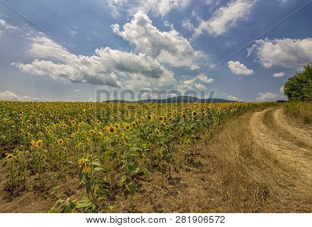 Summer Landscape With Field Of Sunflowers And Rural Road. The Rural Landscape Of Empty Road Near Sun
