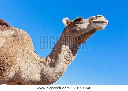 einsame Kamel mit blauer Himmel