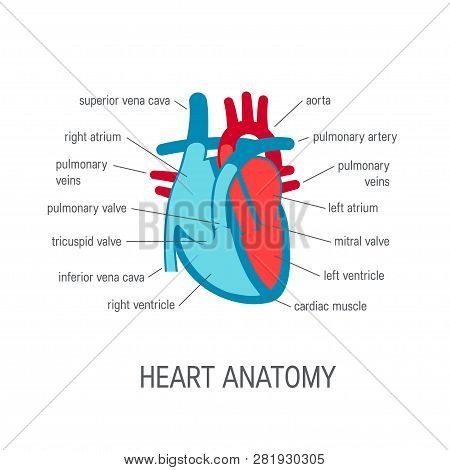 The Human Heart Anatomy, Cross-section. Vector Illustration For Medical Atlas Or Educational Textboo