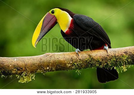 Yellow-throated (black-mandibled) Toucan - Ramphastos Ambiguus  Is A Large Toucan In The Family Ramp