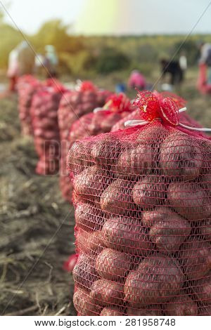 People Harvesting Potatoes On Farmland. Potato Farming. Fresh Organic Potatoes In The Field. Potato