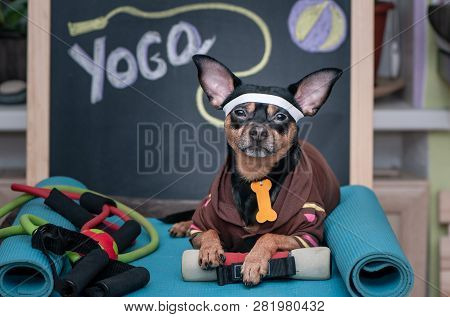 Pet  Yoga. Dog Fitness. Fitness And Healthy Lifestyle For Pet.  Dog Trainer Portrait In Studio Surro