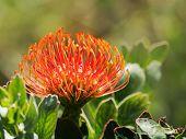 Red Protea, Kirstenbosch, Cape Town, South Africa. Pincushion flower in Kirstenbosch Botanic Gardens, Cape Town, South Africa poster