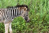 A zebra foal approximately a week old in the Umgeni Valley Nature Reserve, Kwa-zulu Natal, South Africa. poster