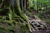 Large exposed moss covered roots and tree trunks in wilderness poster
