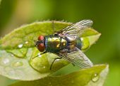 Common green bottle fly (Lucilia sericata) sitting on a dew covered leaf poster